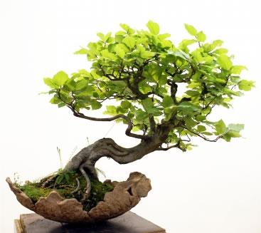 Decora o com plantas o bonsai for Como cultivar bonsais