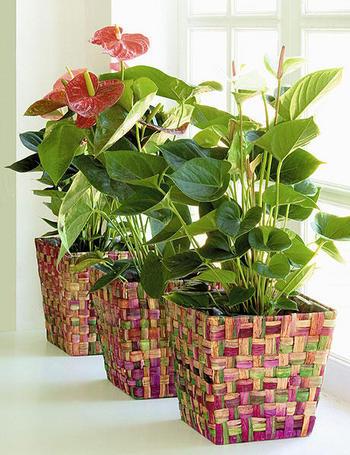 Decora o com plantas o ex tico ant rio for Anturio cuidados