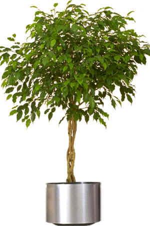 Decora o com plantas ficus de interior - Tipos de plantas de interior ...