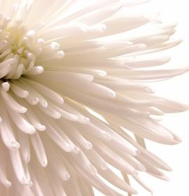 Plantas para decoração: Crisântemos