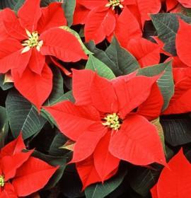 Plantas para decoração: poinsettia ou flor de Natal