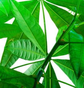 Plantas para decoração: Pachira