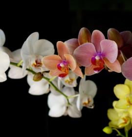 Plantas para decoração: Orquídeas